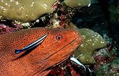 Cleaner wrasse cleaning Yellow-edged moray Ari Atol Maldives