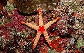Orange Marbled Starfish Ari Atol Maldives