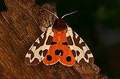 Garden Tiger on bark Sieuras Ariège France  ; @ Garden Tiger (Arctia caja)