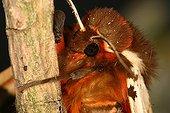 Close up of a Garden Tiger Sieuras Ariège France  ; @ Garden Tiger (Arctia caja)