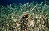 Pen Shell in seagrass Istria Croatia