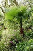 Palmier de California au Jardin de la Pomme d'Ambre à Frejus ; Spécimen d'une douzaine d'année