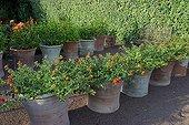 Lantanas oranges en pot au Jardin de l'Alchimiste ; Commune d'Eygalières. 'L'oeuvre au rouge'. Paysagistes : Arnaud Maurières et Eric Ossart.