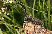 Longicorn beetle posed on a branch Sieuras Ariege France
