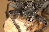 Longicorn beetle head Sieuras Ariege France