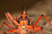 Orange assassin bug Sieuras Ariège France ; Painful puncture.