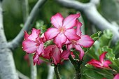 Pinks of the desert or false Baobab tree Ethiopia