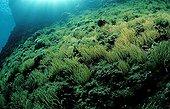 Anémone de mer verte Mer Adriatique Istrie Croatie