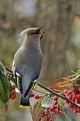Bohemian Waxwing eating a bay of cotoneaster Switzerland