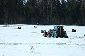 Collecting of the balls of hay in winter Lithuania