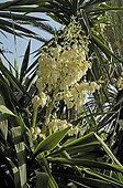 Moundlily yucca in bloom Maroc