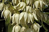 Detail of Moundlily yucca's inflorescence Maroc