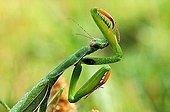 Praying Mantis female Alpes France