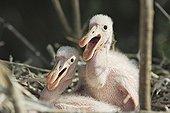 Oisillons Spatule rose piallant dans le nid Venezuela