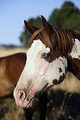 Portrait d'un Cheval de selle Oregon USA ; Localité : Ponderosa ranch, Seneca. Race : Quarter horse et/ou Paint
