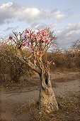 Flowers of the Desert Rose Ethiopia