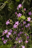 Red Campion in bloom France
