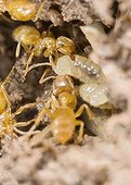 Southern wood ants transporting their eggs in the ground France