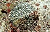 Sick Mushroom Coral Bandasea Indonesia ; Wakatobi Dive Resort.