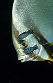 Isopodes parasitant un Platax à nageoires jaunes Indonésie ; Wakatobi Dive Resort.