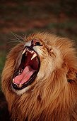 Portrait of Lion male snarling South Africa