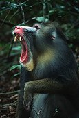 Portrait of Mandrill male yawning