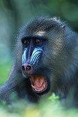 Mandrill male sub adult threatening Africa