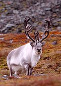 Spitzberg Caribou in the toundra in autumn Spitsbergen ; Valley of the bjorndalen. <br>