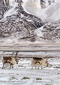 Spitzberg Caribous searching food Spitsbergen ; In the adventdalen. <br>