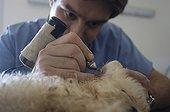 Vétérinaire canin tatouant l'oreille d'un caniche France
