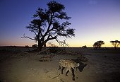 Speckled hyenas at the twilight Kalahari South Africa