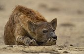 Speckled hyena laid down Kalahari South Africa