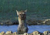 Speckled hyena bathing Kalahari South Africa