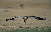 Takeoff of a secretarybird Kalahari South Africa