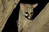 Small spotted genet portrait Kalahari South Africa