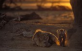 Speckled hyena female and young Kalahari South Africa