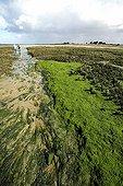 Algues Entéromorphes en bords de filière dans un marais ; Au Sillon de Talbert (Pleubian): entre les spartines et les salicornes.