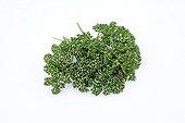 Curled Parsley ; Spice regularly used in a great number of dishes.