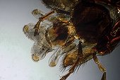 Detail of mouthpieces of a common wasp in polarized light ; Enlargement X 20. <br><br>