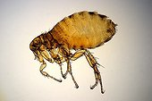 Close up of a human flea female in clear bottom  ; Enlargement X 20. <br><br>