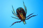 Close up of a sheep tick male under the microscope ; Enlargement x 40. <br><br>