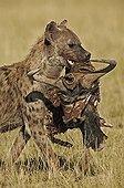 Hyène tachetée portant un reste de Gnou dans sa geule Kenya