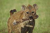 Hyène tachetée portant une patte de Gnou dans sa geule Kenya