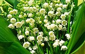 Bouquet of bits of lilies of the valley on sale at May 1 France