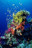 Anthias school at the top of coral reef Red Sea