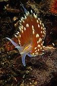 Nudibranch crawling on a sea bottom California USA