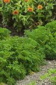 Persil frisé dans un jardin potager fleuri