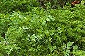 Persil frisé et à feuille plate dans un jardin potager