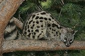 Small-spotted genet on a branch