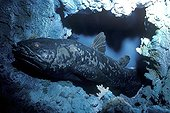 Coelacanth swimming in a reef